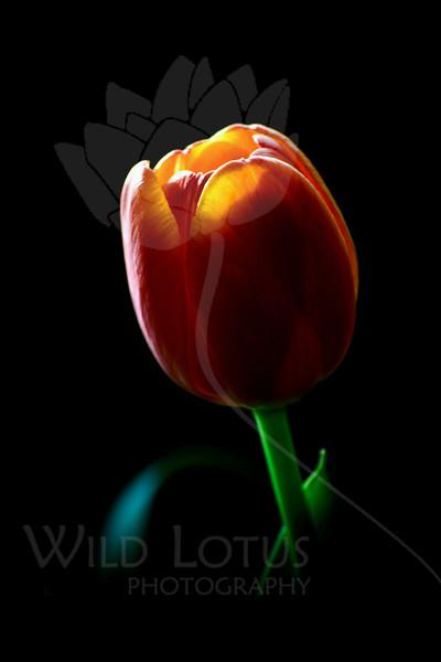 untitled<br /> <br /> Tulip<br /> <br /> 101311_000897 ICC adobe 16in x 24in pic 20in x 30in matte