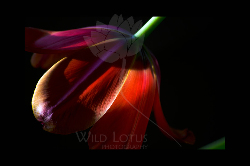 Unexpected<br /> <br /> Tulip<br /> <br /> 013112_005534 ICC adobe 16in x 24in pic 20in x 30in matte