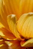 Amber & Honey<br /> <br /> Flower pictured :: Dahlia<br /> <br /> Flower provided by :: Whole Foods<br /> <br /> 052815_009110 ICC sRGB 16x24 pic
