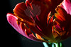 Feathers<br /> <br /> Flower pictured :: Parrot Tulip<br /> <br /> Flower provided by :: King Soopers<br /> <br /> 032213_009288 ICC sRGB 16x24 pic