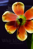 Flower pictured :: Tulip<br /> <br /> Flower provided by :: Whole Foods<br /> <br /> 121612_006537 ICC sRGB 16in x 24in pic