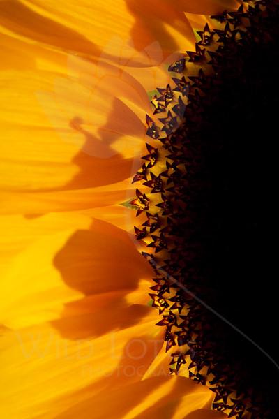 Flower pictured :: Sunflower<br /> <br /> Flower provided by :: Babylon Floral<br /> <br /> 092715_015100 v2 ICC sRGB 16x24