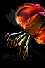 Flower pictured :: Tiger Lily<br /> <br /> Flower provided by :: Tagawa Gardens<br /> <br /> 060613_012643 R ICC sRGB 16x24 pic