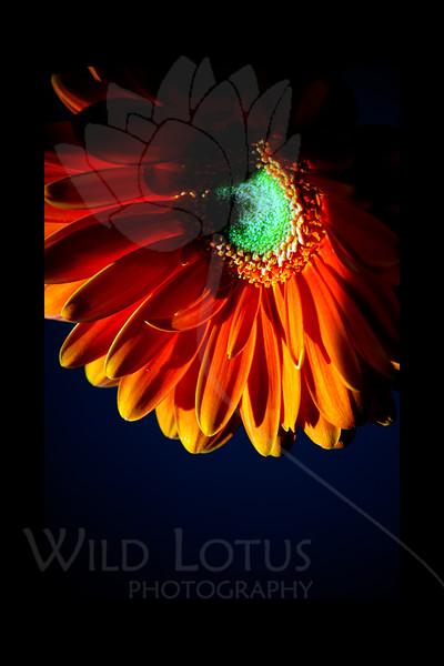 Sun Over Jupiter<br /> <br /> Gerber Daisy<br /> <br /> 013012_005305 ICC adobe 16in x 24in pic 20in x 30in matte
