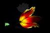 Rocket<br /> <br /> Fringed Tulip<br /> <br /> 112311_001349 ICC adobe 16in x 24in pic 20in x 30in matte