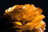 Flower pictured :: Ranunculus<br /> <br /> Flower provided by :: Whole Foods @ University<br /> <br /> 031213_009022 ICC sRGB 16x24 pic