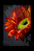 Flower pictured :: Sunflower<br /> <br /> 022512_002423 ICC adobe 16in x 24in pic