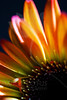 Flower pictured :: Gerbera Daisy<br /> <br /> Flower provided by :: Whole Foods @ University<br /> <br /> 060612_010867 ICC sRGB 16in x 24in pic