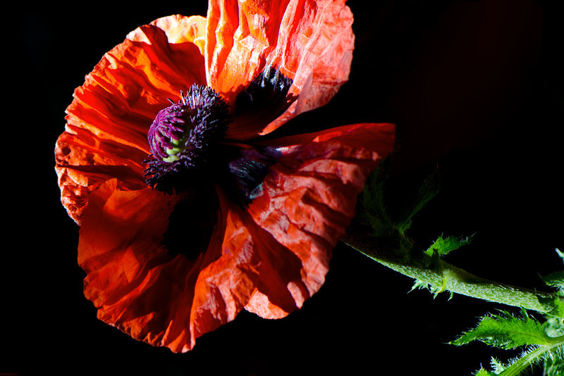 Flower pictured :: Oriental Poppy<br /> <br /> Flower provided by Babylon Floral<br /> <br /> 052812_009982 ICC sRGB 16in x 24in pic
