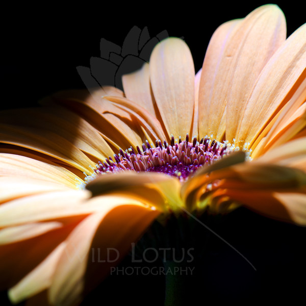 Rise<br /> <br /> Flower pictured :: Gerbera Daisy<br /> <br /> Flower provided by :: Abloom<br /> <br /> 072012_013197 ICC sRGB 16in x 16in pic