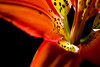 Flower pictured :: Colorado Lily<br /> <br /> Flower provided by :: Tagawa Gardens<br /> <br /> 060115_009287 ICC sRGB 16x24 pic