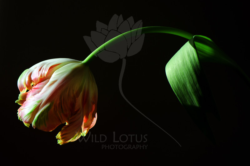 Flower pictured :: Parrot Tulip<br /> <br /> 033012_004535 ICC sRGB 16in x 24in pic