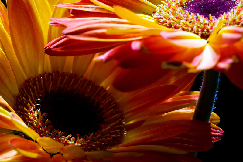 Flowers pictured :: Gerbera Daisies<br /> <br /> Flowers provided by :: Babylon Floral<br /> <br /> 042113_010507 ICC sRGB 16x24 pic