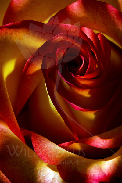 Flower pictured :: Rose<br /> <br /> Flower provided by :: Abloom<br /> <br /> 092912_002256 ICC sRGB 16in x 24in pic