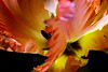 Flower pictured :: French Tulip<br /> <br /> Flower provided by :: Whole Foods<br /> <br /> 031415_006845 ICC sRGB 16x24 pic