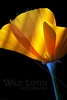 Flower pictured :: California Poppy<br /> <br /> 040812_004896 ICC sRGB 16in x 24in pic