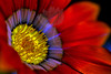 Monarch<br /> <br /> Flower pictured :: Gazania<br /> <br /> Flower provided by :: Tagawa Gardens<br /> <br /> 052812_010240 ICC sRGB 16in x 24in pic