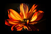 """Flame<br /> <br /> Flower featured in """"A Year In Bloom 2013 Calendar""""<br /> <br /> Flower pictured :: Dahlia<br /> <br /> 112011_000982 ICC adobe 16in x 24in pic 20in x 30in matte"""