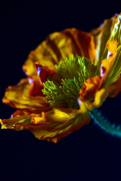 Flower pictured :: Poppy<br /> <br /> 040712_004803 ICC sRGB 16in x 24in pic