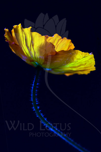Flower pictured :: Poppy<br /> <br /> 040712_004819 ICC sRGB 16in x 24in pic