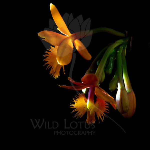 Flower pictured :: Orchid<br /> <br /> Flower provided by :: Tagawa Gardens<br /> <br /> 090312_000783 ICC sRGB 16in x 16in pic