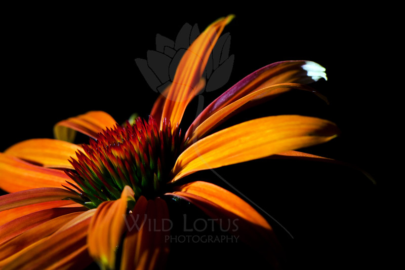 Flower pictured :: Echinacea<br /> <br /> Flower provided by :: Tagawa Gardens<br /> <br /> 091612_001494 ICC sRGB 16in x 24in pic