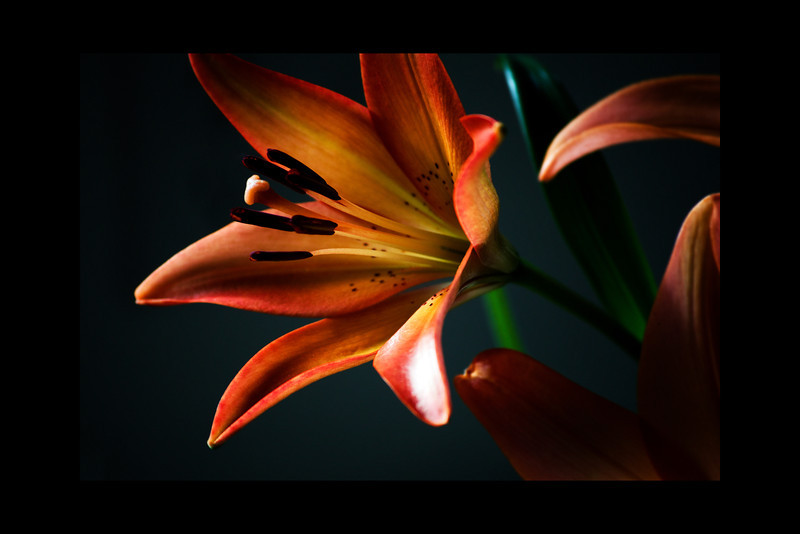 Asiatic Lily<br /> <br /> 011812_003696 ICC adobe 16in x 24in pic 20in x 30in matte
