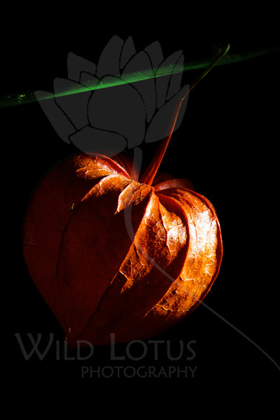 Flower pictured :: Chinese Lantern<br /> <br /> Flower provided by :: Little Flower Market<br /> <br /> 090912_001329 ICC sRGB 16in x 24in pic