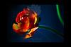 untitled<br /> <br /> Ranunculus<br /> <br /> 011712_003654 ICC adobe 16in x 24in pic 20in x 30in matte