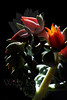 Flower pictured :: Hen & Chicks<br /> <br /> Flower provided by :: Tagawa Gardens<br /> <br /> 073012_013899 ICC sRGB 16in x 24in pic
