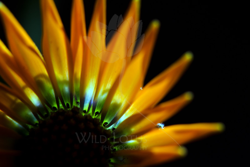 Impressions of Aurora Borealis<br /> <br /> Flower pictured :: Daisy<br /> <br /> Flower provided by :: Tagawa Gardens<br /> <br /> 092312_001950 ICC sRGB 16in x 24in pic