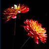 Flower pictured :: Dahlia<br /> <br /> Flower provided by :: Babylon Floral<br /> <br /> 041313_010248 ICC sRGB 16x16 pic