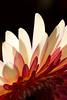 Flamingo<br /> <br /> Flower pictured :: Gerbera Daisy<br /> <br /> Flower provided by :: Babylon Floral<br /> <br /> 012316_015869 v2 ICC sRGB 16x24