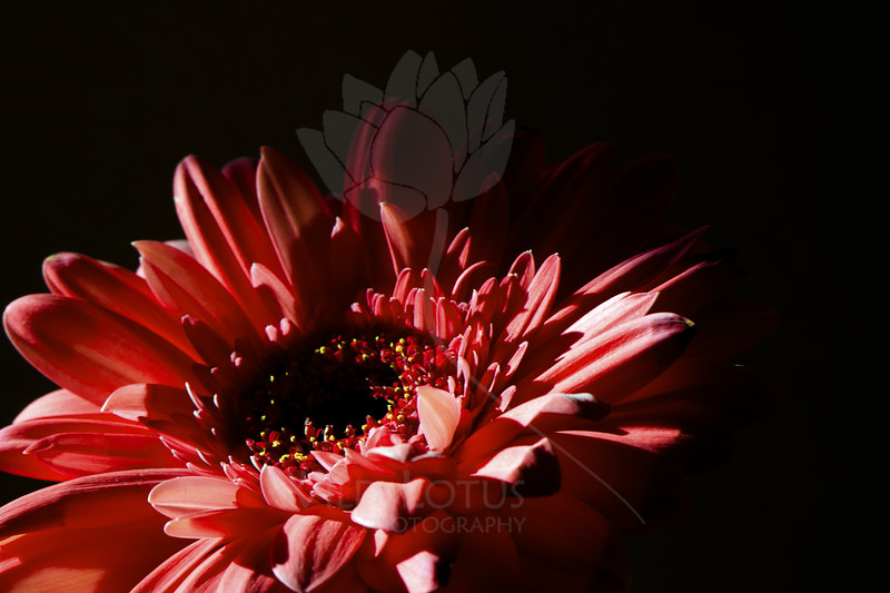Flower pictured :: Gerbera Daisy<br /> <br /> 033012_004599 ICC sRGB 16in x 24in pic