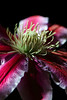 Flower pictured :: Clematis<br /> <br /> 041312_005403 ICC sRGB 16in x 24in pic