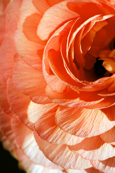 Flower pictured :: Ranunculus<br /> <br /> 033012_004627 sRGB 16in x 24in pic