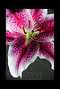 untitled<br /> <br /> Stargazer Lily<br /> <br /> 050111_000437 16in x 24in pic 20in x 30in matte