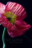Flower pictured :: Iceland Poppy<br /> <br /> Flower provided by :: Tagawa Gardens<br /> <br /> 050612_008200 ICC sRGB 16in x 24in pic