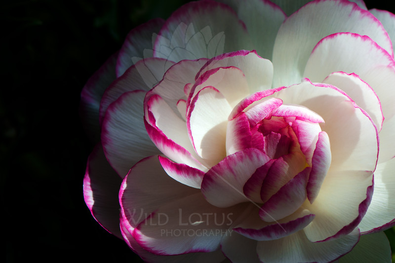 Flower pictured :: Ranunculus<br /> <br /> Flower provided by :: Tagawa Gardens<br /> <br /> 031213_009041 ICC sRGB 16x24 pic