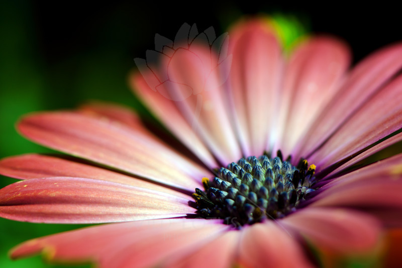 Flower pictured :: Daisy<br /> <br /> Flower provided by :: Tagawa Gardens<br /> <br /> 052812_010203 ICC sRGB 16in x 24in pic