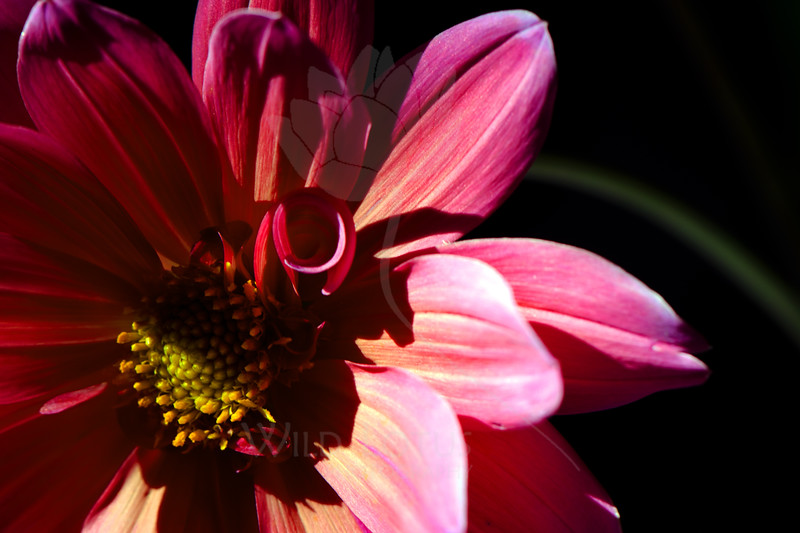 Flower pictured :: Dahlia<br /> <br /> Flower provided by :: Babylon Floral<br /> <br /> 053112_010476 ICC sRGB 16in x 24in pic