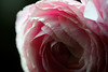 Flower pictured :: Ranunculus<br /> <br /> Flower provided by :: Whole Foods on University Blvd<br /> <br /> 041912_006214 ICC sRGB 16in x 24in pic