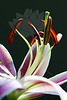 Flower pictured :: Stargazer Lily<br /> <br /> Flower provided by :: Whole Foods<br /> <br /> 120914_006218 ICC sRGB 16x24 pic