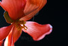 Flower pictured :: Begonia<br /> <br /> Flower provided by  :: Tagawa Gardens<br /> <br /> 061312_011595 ICC sRGB 16in x 24in pic