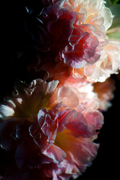 Flower pictured :: Hollyhock<br /> <br /> Flower provided by :: The Gardens @ Highlands Ranch<br /> <br /> 062312_012053 ICC sRGB 16in x 24in pic