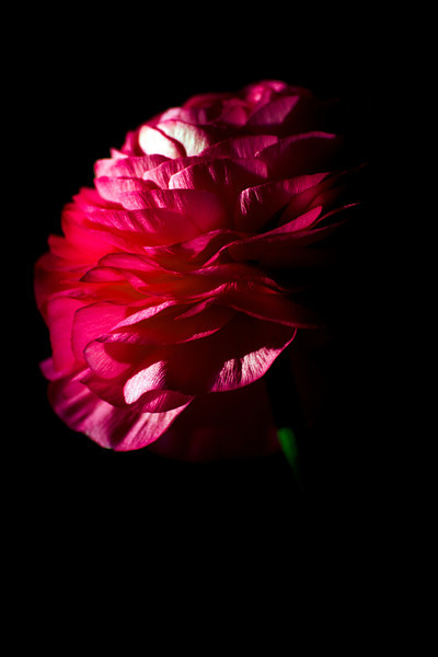 Flower pictured :: Ranunculus<br /> <br /> 031312_003335 ICC adobe 16in x 24in pic
