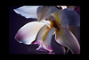 Snow Angel<br /> <br /> Orchid<br /> <br /> 020512_005949 ICC adobe 16in x 24in pic 20in x 30in matte