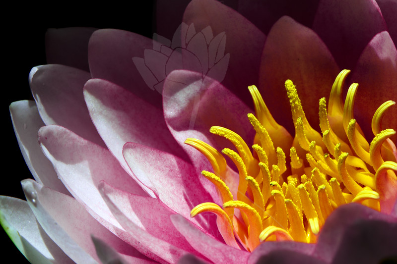 Flower pictured :: Water Lily<br /> <br /> Flower provided by :: Tagawa Gardens<br /> <br /> 061613_012908 ICC sRGB 16x24 pic