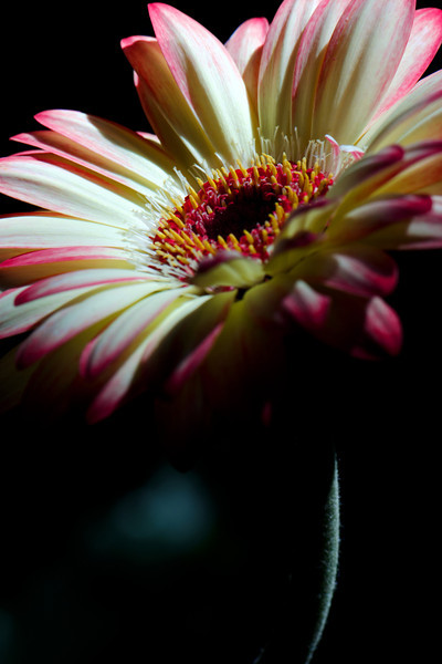 Flower pictured :: Gerbera Daisy<br /> <br /> Flower provided by :: Abloom<br /> <br /> 062812_012411 ICC sRGB 16in x 24in pic