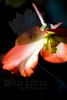 Flower pictured :: Begonia<br /> <br /> Flower provided by :: Tagawa Gardens<br /> <br /> 061312_011538 ICC sRGB 16in x 24in pic